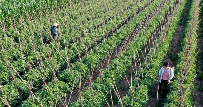 高效菜园助力农户丰产增收