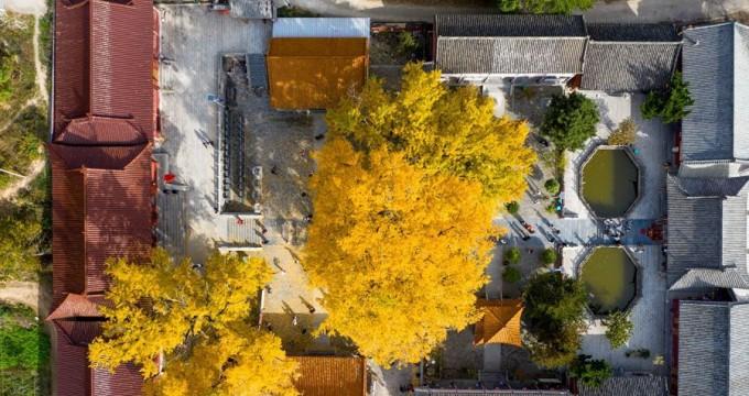 河南鲁山:深山藏古寺 千年银杏黄