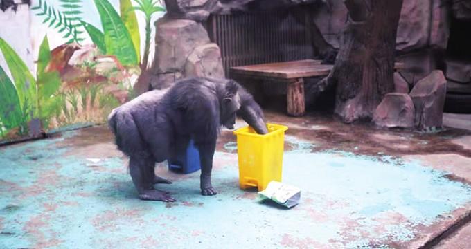 郑州市动物园的黑猩猩都学会垃圾分类啦