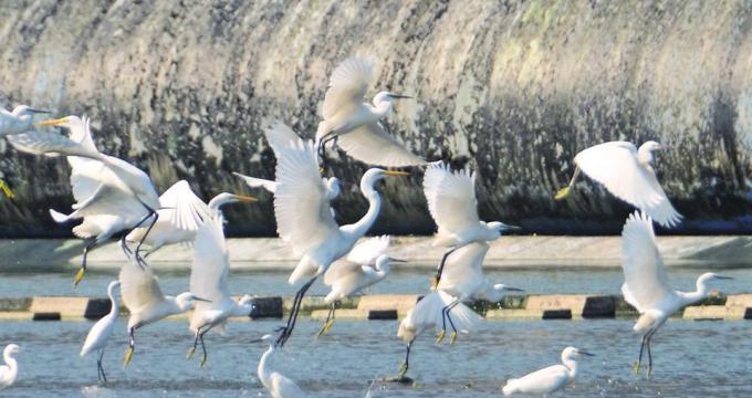 """冬候鸟""""第一梯队""""降落南阳白河"""